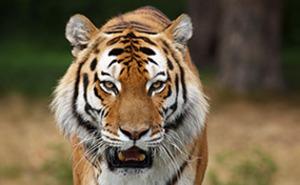 Möte med tigrar för två