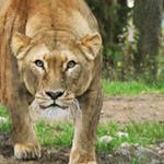 Lejonkulan för två
